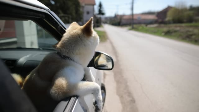 Siberian Husky Relaxing At Car Window