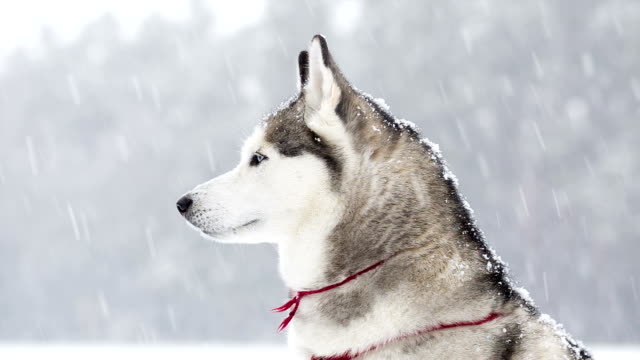 Siberian Husky saunters in the winter during a snowfall. video
