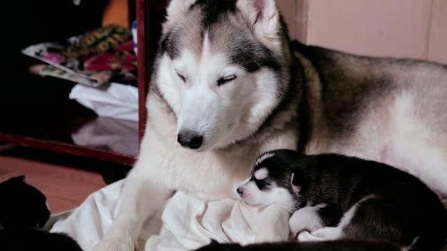 Siberian Husky sleeping with puppies.