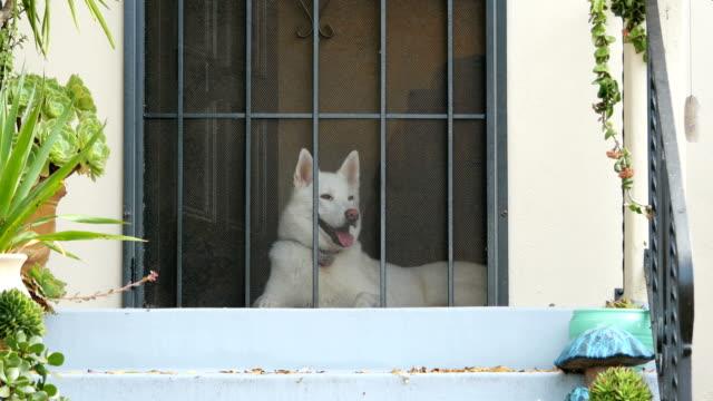 vídeos de stock e filmes b-roll de siberian husky waiting for his owner in 4k - engradado