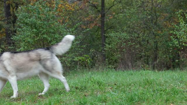 husky siberiano che cammina nella foresta. - cane husky video stock e b–roll
