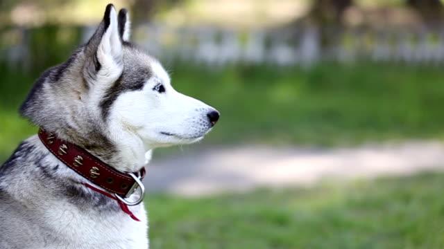 husky siberiano con occhi azzurri look tutto. - cane husky video stock e b–roll