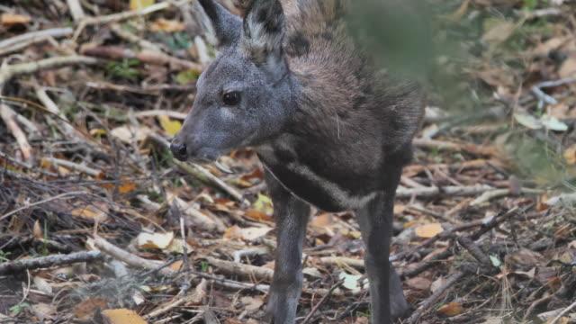 Siberian musk deer (Moshus musk) - Altay nature reserve Siberian musk deer (Moschus moschiferus), capture in Altay nature reserve, Russia mammal stock videos & royalty-free footage