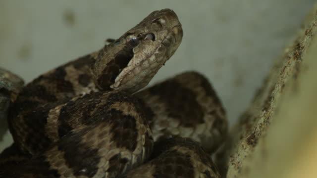 vídeos de stock e filmes b-roll de siberian pit viper (gloydius halys) - khingan nature reserve - castanho