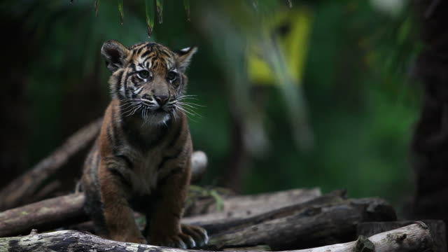 siberian tiger cub - tiger bildbanksvideor och videomaterial från bakom kulisserna