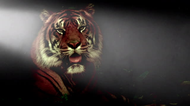 Siberian Tiger posing against a black background video