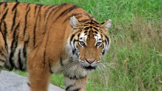 vídeos y material grabado en eventos de stock de tigre siberiano rondar - tigre