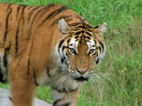 Siberian Tiger Prowling video