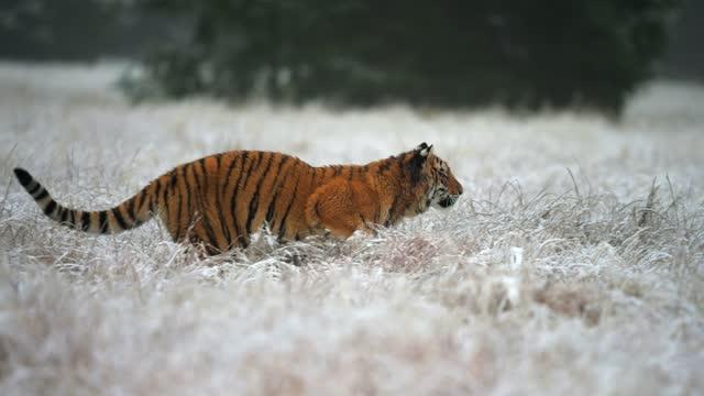 vídeos de stock, filmes e b-roll de tigre siberiano (panthera tigris altaica) correndo sobre um campo coberto por uma neve, câmera lenta. - felino