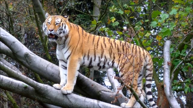 Siberian Tiger standing on large tree branch video
