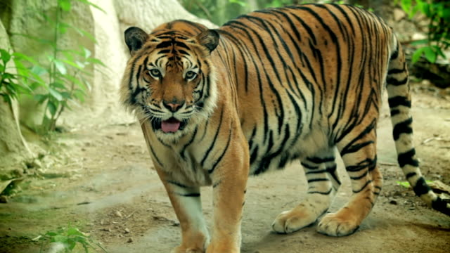 Siberian Tiger. video