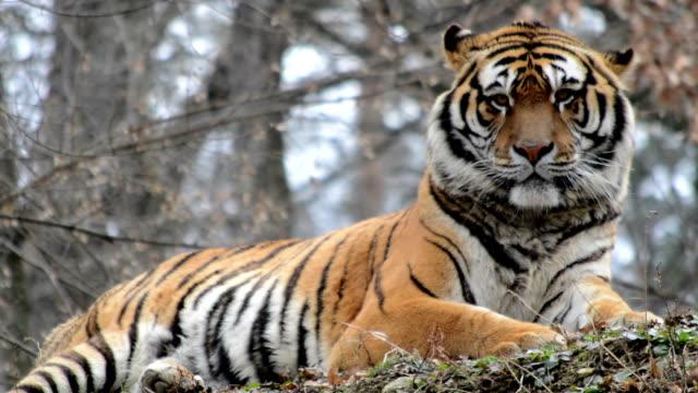 vídeos y material grabado en eventos de stock de tigre siberiano - tigre