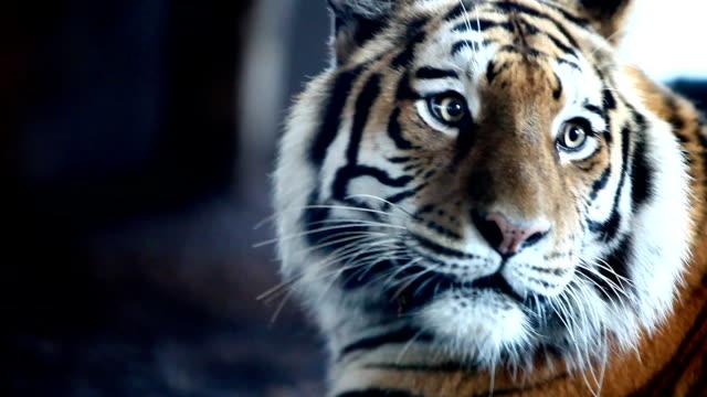 siberian tiger - tiger bildbanksvideor och videomaterial från bakom kulisserna