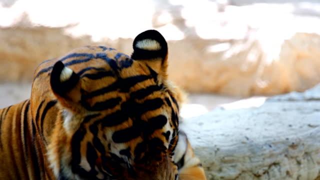 Siberian Tiger Yawning. video