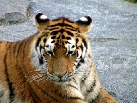 vídeos y material grabado en eventos de stock de siberian tiger bostezar (additional_formats_below - vibrisas