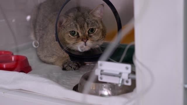 Sick cat in a cat cone collar sitting in a cage in a veterinary clinic.