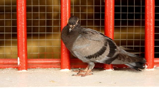 Sick grey pigeon HD 1080 video