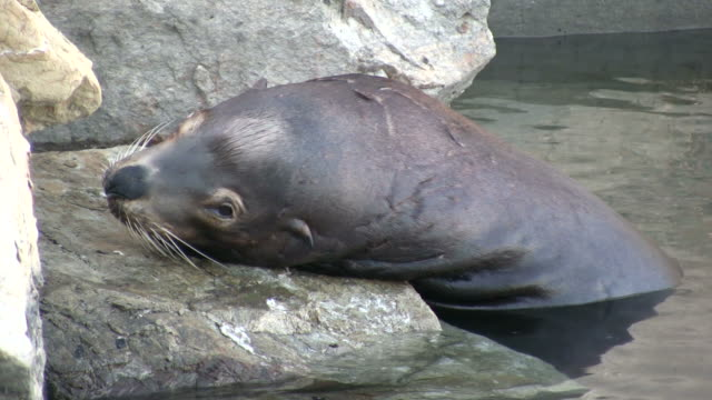 (HD1080i) Sick Sea-lion Seal Face, Close.  Looks at Camera Sick Sea-lion Seal Face, Close.  Looks at Camera.   (HD067).  animal whisker stock videos & royalty-free footage