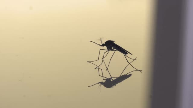 Side profile of a mosquito on a reflective surface video