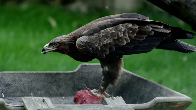 Side shot of an eagle eating raw meat video