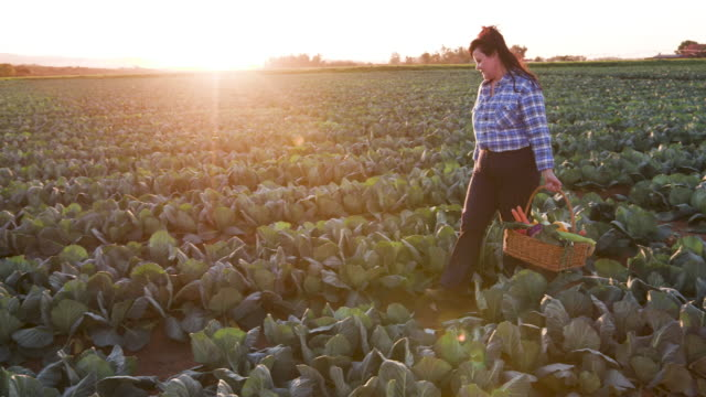 side view of a female farmer walking through vegetable fields holding a basket of freshly picked vegetables with the sun setting in the background - gospodarstwo ekologiczne filmów i materiałów b-roll