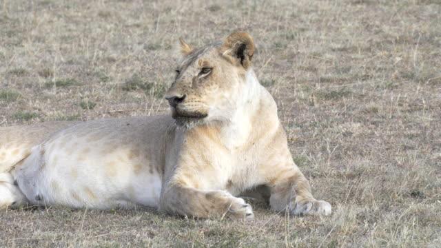 stockvideo's en b-roll-footage met zijaanzicht van een leeuwin liggend op masai mara in kenia - leeuwin