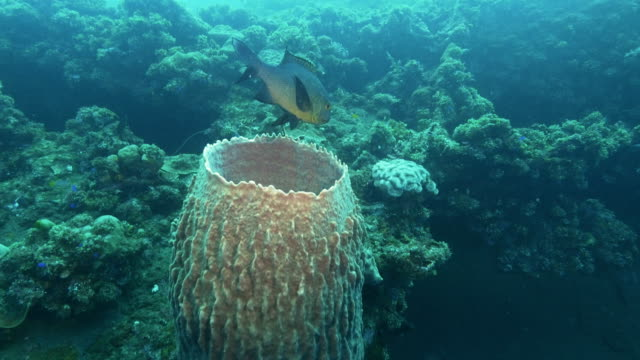 side view of a midnight snapper and barrel sponge at liberty wreck in tulamben - луциан стоковые видео и кадры b-roll