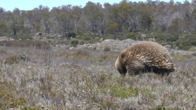 seitenansicht einer echidna-fütterung in der wildnis von tasmanien - ameisenbär stock-videos und b-roll-filmmaterial