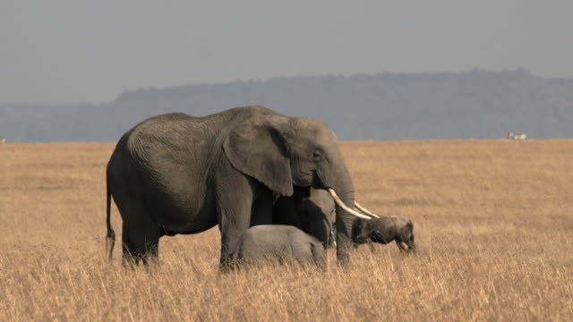 side view of an elephant cow and her calves feeding at masai mara