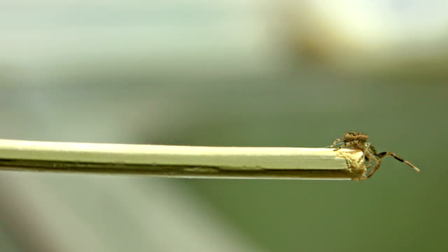 Side view of big venomous spider crawling across stick surface. UHD Sony 4k shoot video