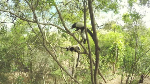 sifaka.på lemurer klättring ett träd - lemur bildbanksvideor och videomaterial från bakom kulisserna