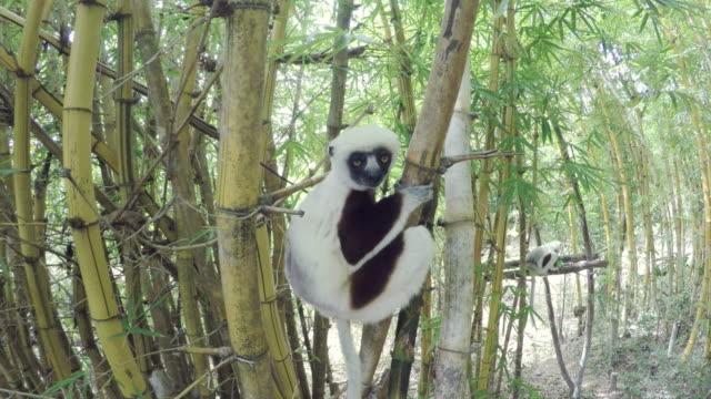 sifakor lemur i madagaskar skog - lemur bildbanksvideor och videomaterial från bakom kulisserna