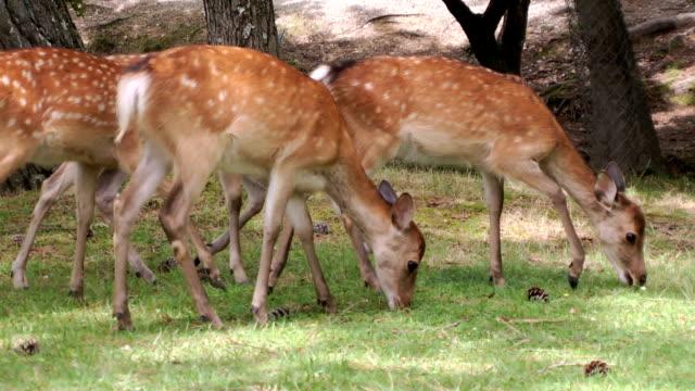 sika deer grazing - benekli geyik stok videoları ve detay görüntü çekimi
