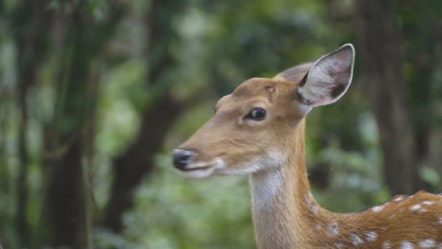 sika geyiği ormanda - benekli geyik stok videoları ve detay görüntü çekimi