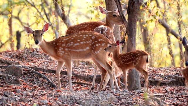 ormanda sika geyik - benekli geyik stok videoları ve detay görüntü çekimi