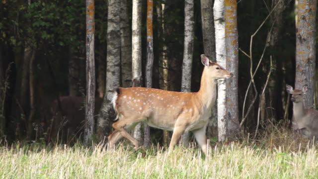 sika geyiği - benekli geyik stok videoları ve detay görüntü çekimi