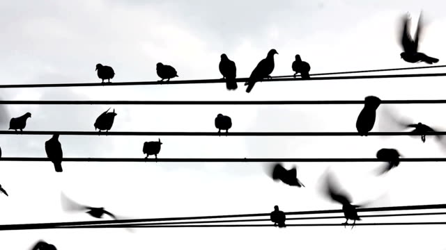 silhouette bird on electricity wire video