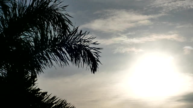 Silhouette coconut palm leaves on sky video