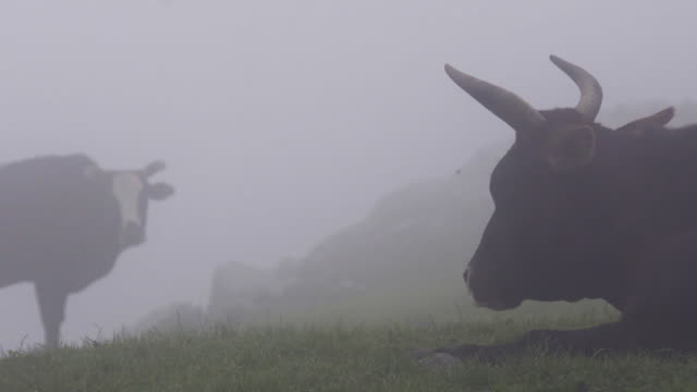 silhouette-kühe auf der alm im nebel - himachal pradesh stock-videos und b-roll-filmmaterial