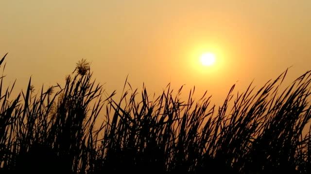 silhouette gräs blomma på sunset - abstract silhouette art bildbanksvideor och videomaterial från bakom kulisserna