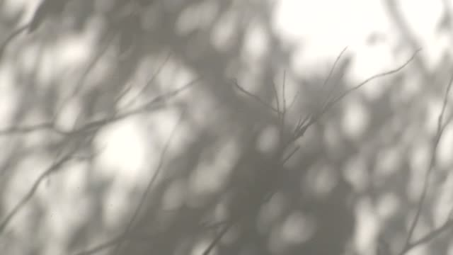 silhouette moving shadow of tree leaf and branch to white wall