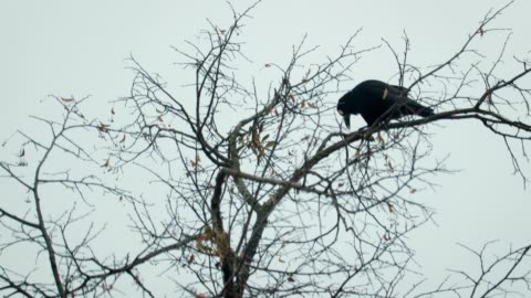Silhouette of a black crow on a bare, winter tree An old black crow sits on a tree branch in late autumn against a gray sky. The concept of birds limb body part stock videos & royalty-free footage