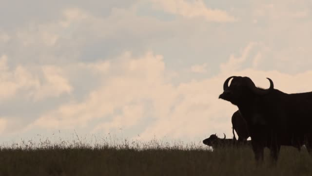 Silhouette Of A Wild Buffalo's  Walking And Standing On The Grass Field In Kenya, Africa - Wide Shot