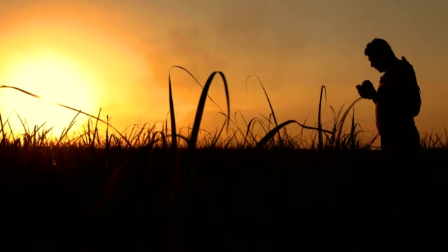 silhouette of an agronomist concept of agricultural business sugar cane plantation - canna da zucchero video stock e b–roll