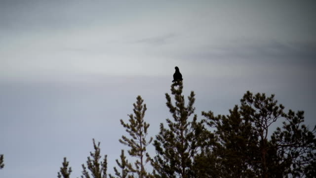 Silhouette of black grouse (tetrao tetrix) sitting on the top of a tree video