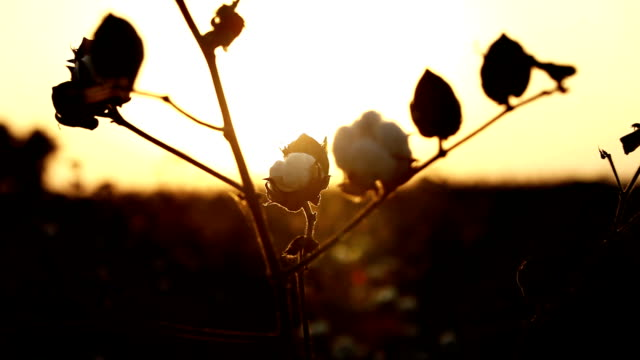 silhuetten av bomullsväxten under solnedgången - cotton growing bildbanksvideor och videomaterial från bakom kulisserna