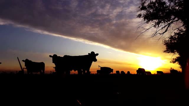 Silueta de animales con puesta de sol en el campo - vídeo
