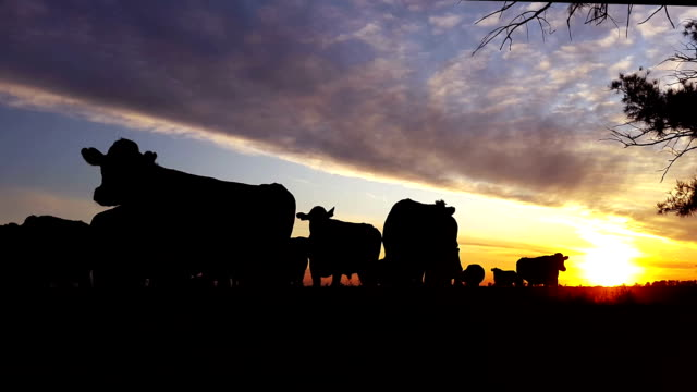 silhouette of cows with sunset in the fields video