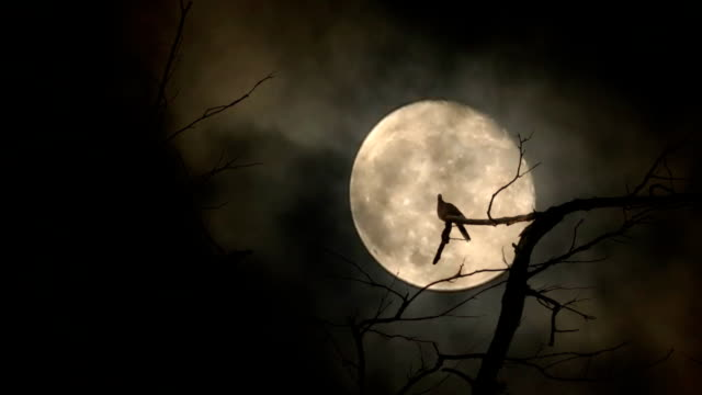 Silhouette of doves flying to sit on the branches and full moon at night with bright and dark clouds background