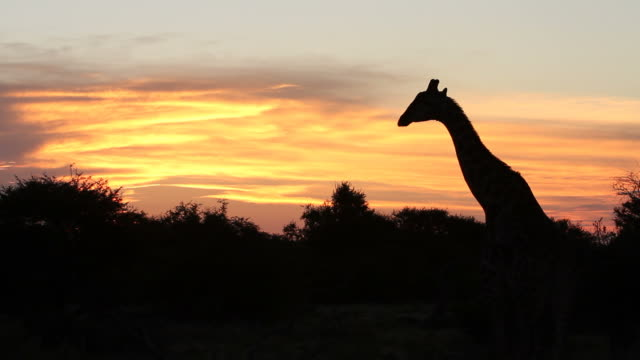 Silhouette of giraffe against sunset. video